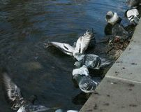 Pigeons bathe in the lake Stock Images