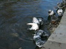 Pigeons bathe in the lake Stock Image