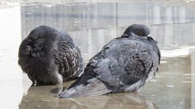 Pigeons bathe in a pool together Royalty Free Stock Photography