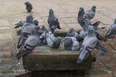Pigeons bathe in the stone bath with water . Close up Stock Photography