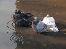 Pigeons bathe Stock Image