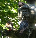 pigeons-bathing-in-fountain Stock Images