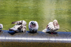 Pigeons bathing in the fountain Stock Photos