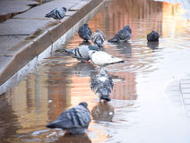 Pigeons bathing in a puddle Stock Image