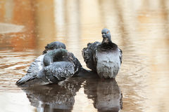 Pigeons bathing in a puddle in the spring on the road Stock Image