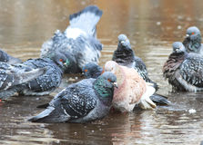 Pigeons bathing in a puddle in the spring on the road Royalty Free Stock Photos