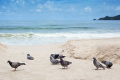Pigeons at the beach Stock Photography