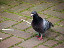 Pigeons. Beautiful pigeons in Europe live by nature Stock Photography