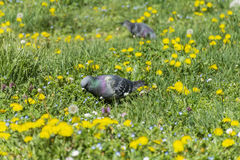 Pigeons in a beautiful  spring garden Stock Photo