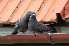 Pigeons being affective Royalty Free Stock Photo