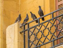 Pigeons in Beirut, Lebanon stock photography