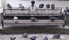 Pigeons on the bench royalty free stock images