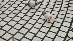 The pigeons bird (doves) walking at the park in the late afternoon stock footage