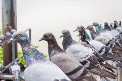 Pigeons bird Stock Photography
