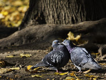 Pigeons, birds Royalty Free Stock Photography