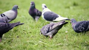 Pigeons birds in city park. Beautiful hungry pigeons birds walking on grass, searching food and eating in city park stock video