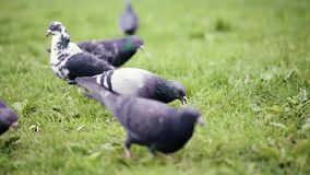 Pigeons birds in city park. Beautiful hungry pigeons birds walking on grass, searching food and eating in city park - close up, slow motion stock video