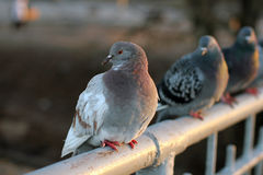 Pigeons, birds, wings Royalty Free Stock Image