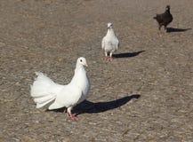 Pigeons blancs Trois pigeons sur un pavé gris Photos stock