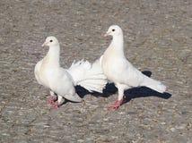 Pigeons blancs Trois pigeons sur un pavé gris Photos libres de droits