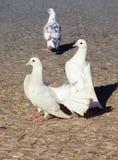 Pigeons blancs Trois pigeons sur un pavé gris Photo libre de droits
