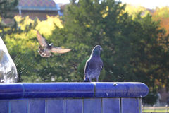 Pigeons in blue fountain Royalty Free Stock Images