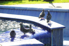Pigeons in blue fountain Royalty Free Stock Image