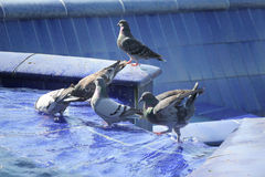 Pigeons in blue fountain Stock Photo