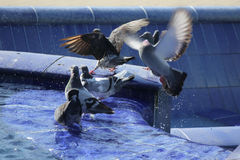 Pigeons in blue fountain Stock Photography