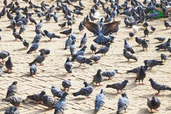 Pigeons at Boudhanath Temple, Kathmandu, Nepal Royalty Free Stock Images