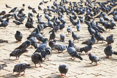 Pigeons at Boudhanath Temple, Kathmandu, Nepal Royalty Free Stock Photo