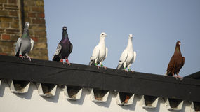 Racing pigeons on a rooftop Royalty Free Stock Photo