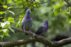 Pigeons on the branch Royalty Free Stock Photography
