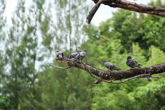 Pigeons on branch. Nature pigeons on branch in park Royalty Free Stock Images