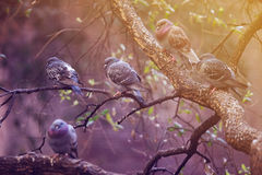 Pigeons on a branch of tree. In Barcelona Stock Photography