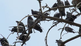 Pigeons on the branches Stock Image