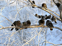 Pigeons on the branches in winter. Royalty Free Stock Image