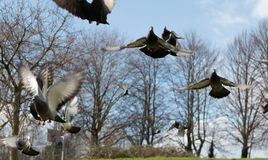 Pigeons in Bristol park royalty free stock photos