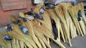 Pigeons on brooms Stock Image