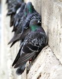 Pigeons on the building wall Stock Photos