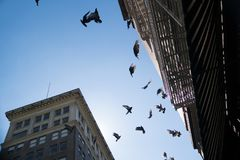 Pigeons and buildings rising overhead against a blue sky. A flock of pigeons flying over head with old buildings with fire escapes rising above against a blue Stock Photos