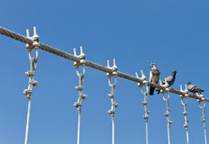 Pigeons on cable of the bridge Royalty Free Stock Photography