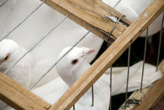 Pigeons in a cage. White pigeons in small cage wants to fly Stock Images