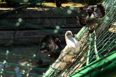 Pigeons in a cage stock photography