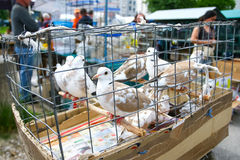 Pigeons in cage on market Royalty Free Stock Photo