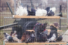 Pigeons at cages in the market Royalty Free Stock Images