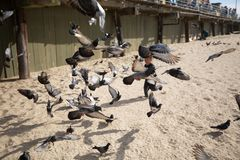 Pigeons chased by child royalty free stock images