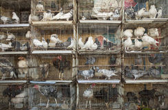 Pigeons and chickens. In cages in the market. Salalah, Oman Royalty Free Stock Images