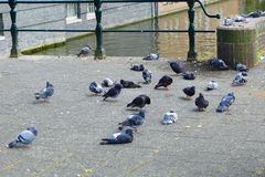 Pigeons in the city of amsterdam royalty free stock images