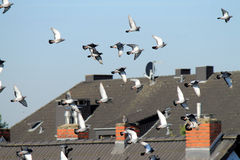 Pigeons in the city, flying over rooftops Royalty Free Stock Photo